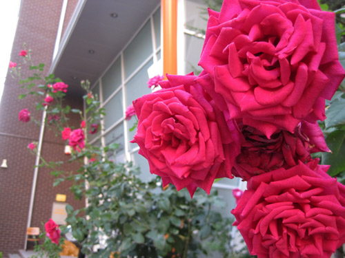 Roses outside the school