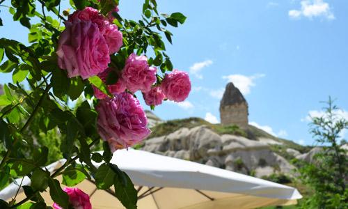 Roses in Cappadocia, Turkey