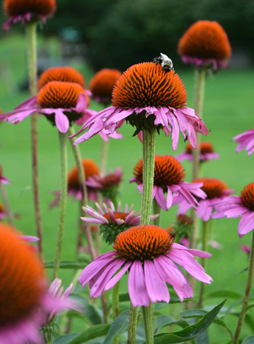Bee and cone flowers