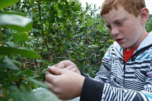 Ben picking blueberries