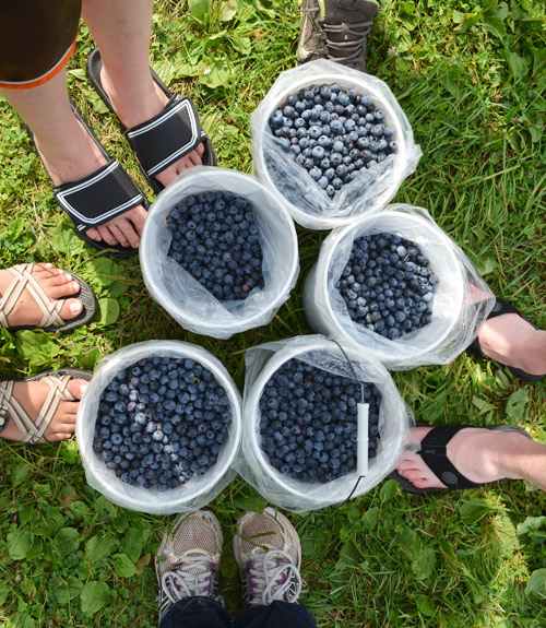 Our buckets of picked blueberries