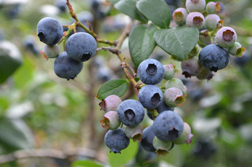 Michigan blueberries