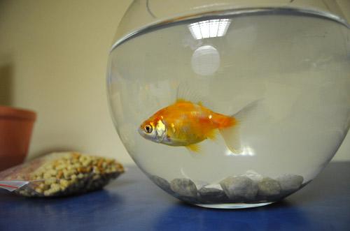 Class Pet Goldfish