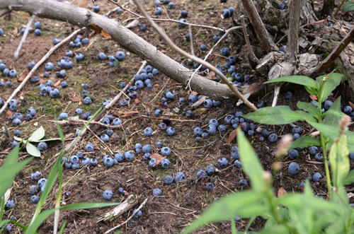 Fallen blueberries