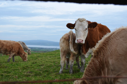 Cliffs of Moher cows