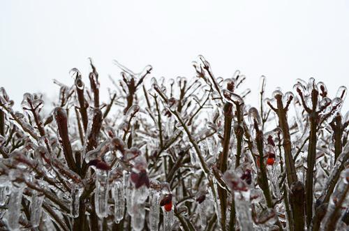 Icy bush