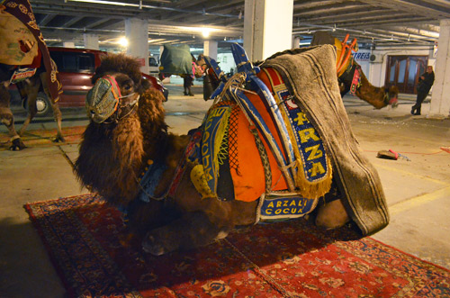 Camel in a parking garage