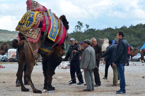 Camel wrestler