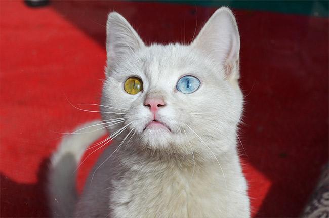 Van cat two colored eyes