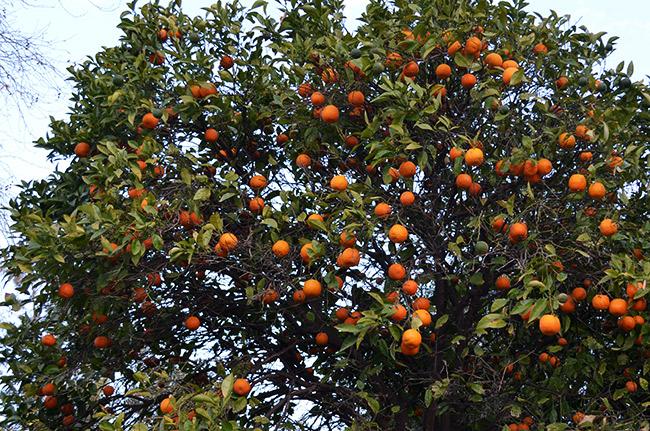 Antalya oranges
