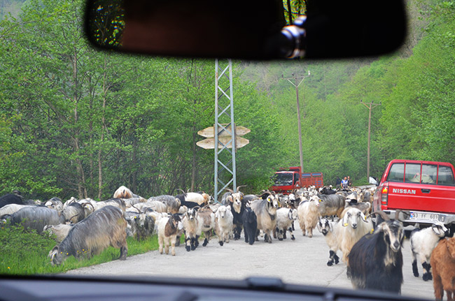 Goats in road