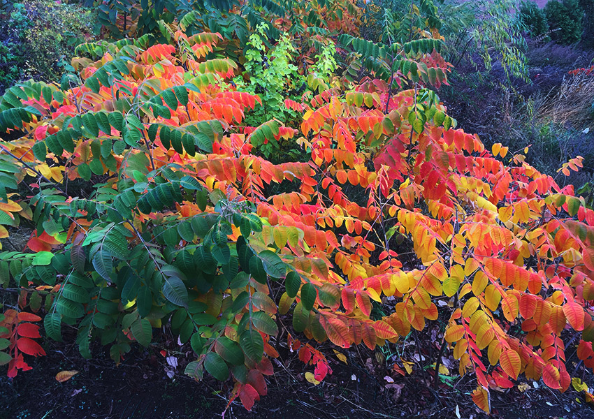 Bush burning with fall colors