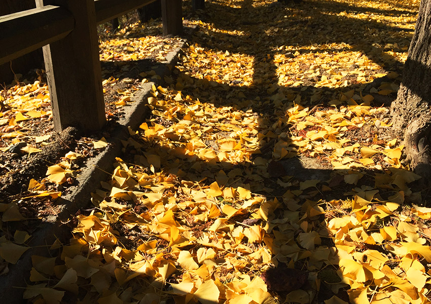 Ginkgo leaves and fence shadows