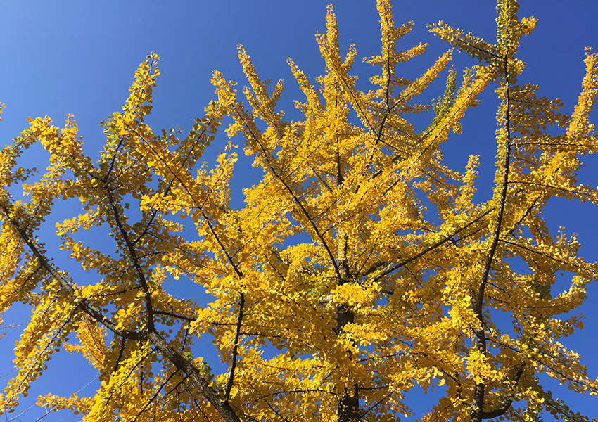 Gingko yellow tree
