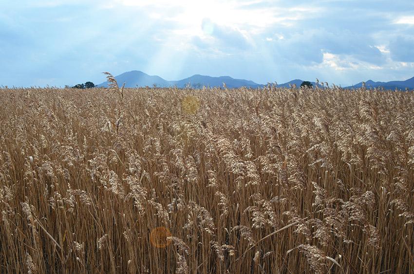 Suncheon Bay reed fields