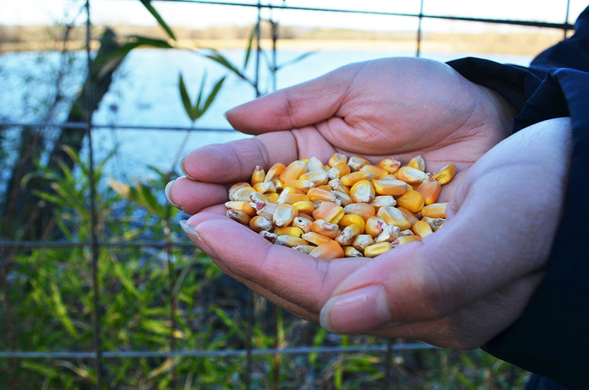 Holding cracked corn