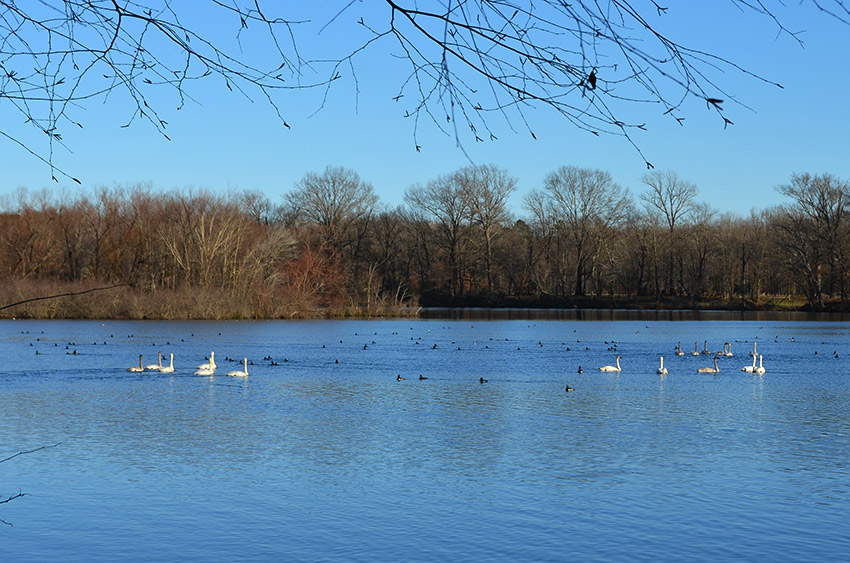 Magness Lake swans