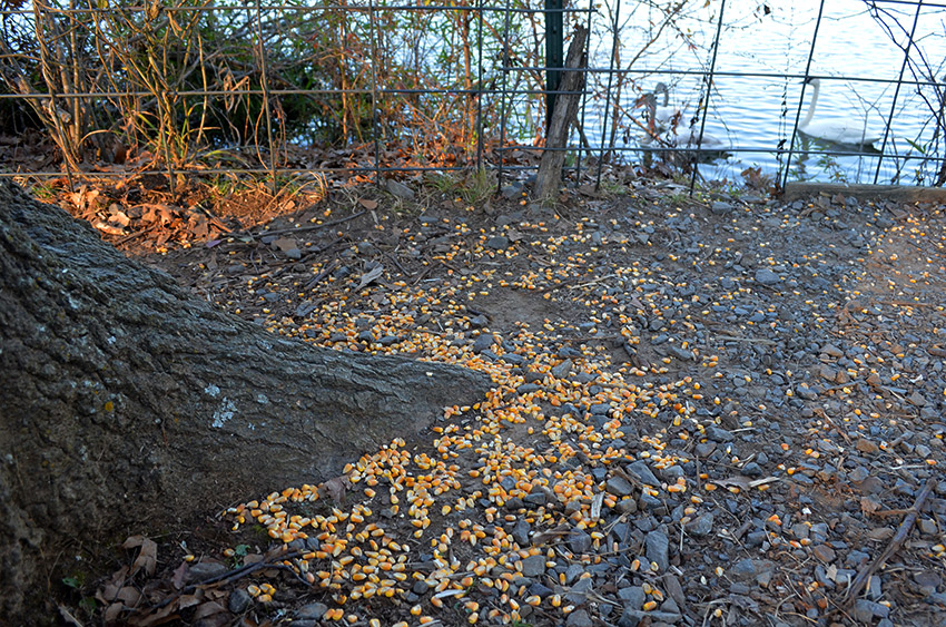 Cracked corn on Magness Lake