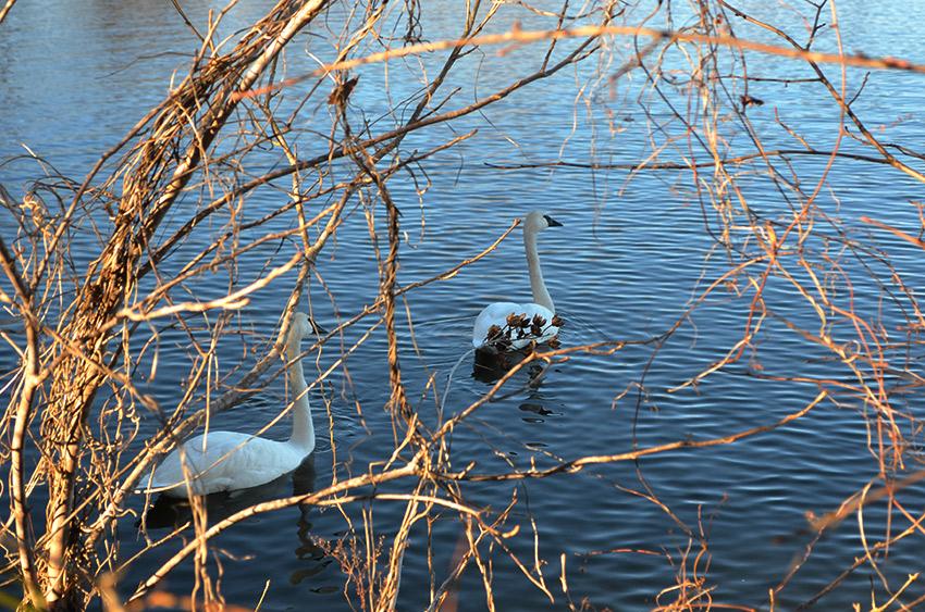 Trumpeter swans through brush