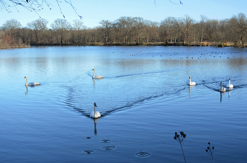 Trumpeter swans swimming