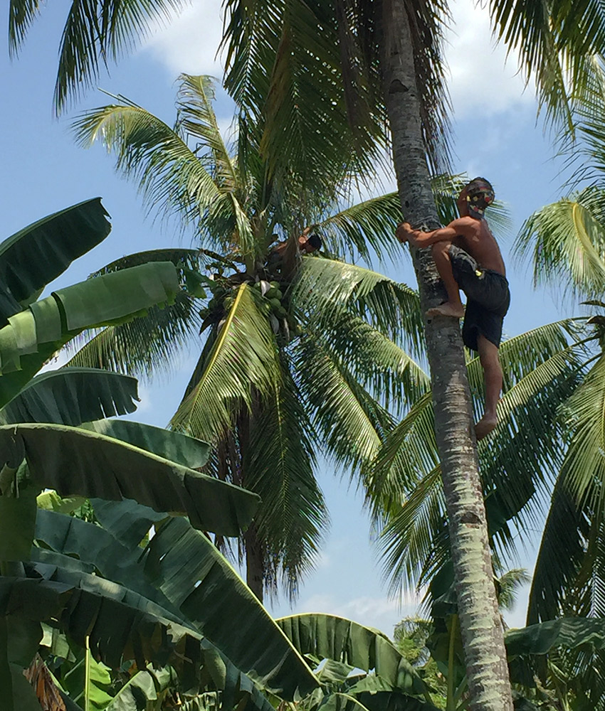 Man climbing palm tree for coconuts