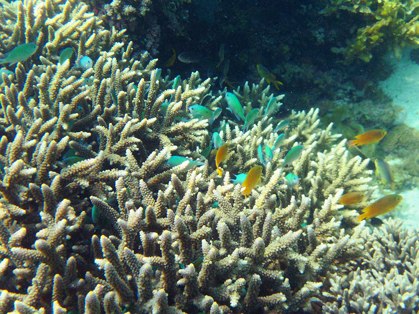 Coral and blue fishes