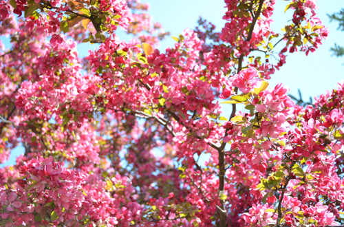 Pink blossoms on the trees