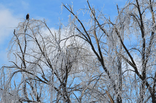 Icy tree and bald eagle