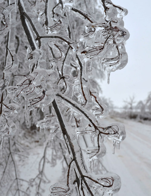 Iced over branches
