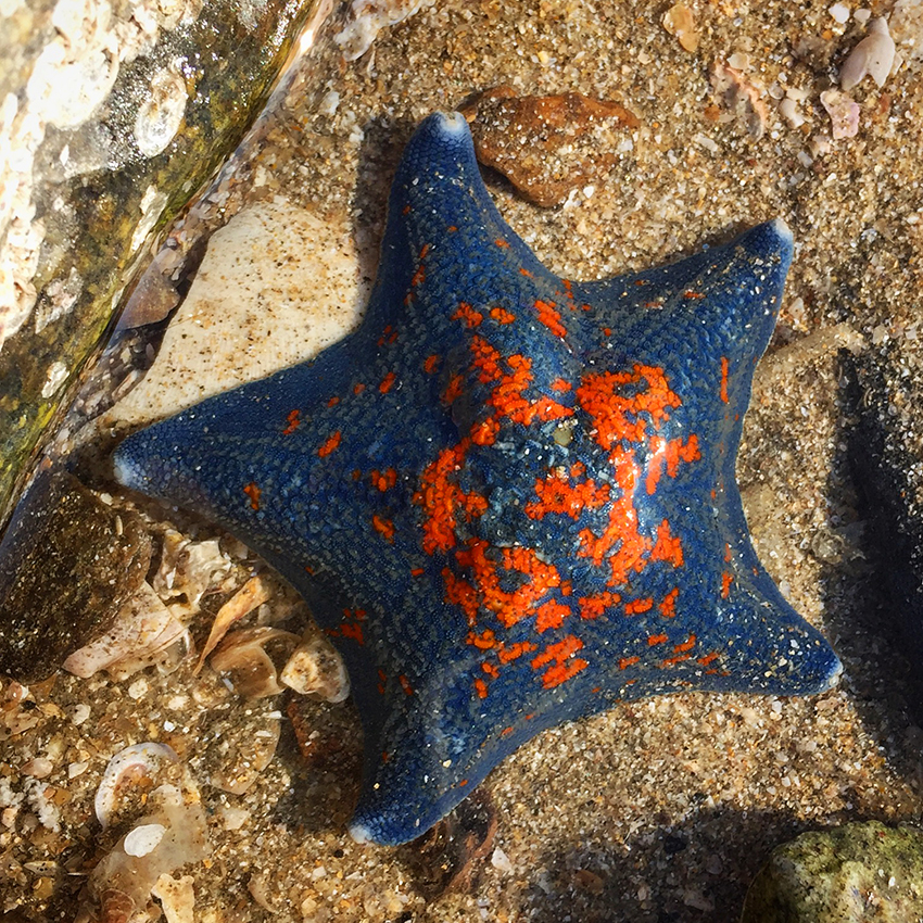 Blue and orange starfish