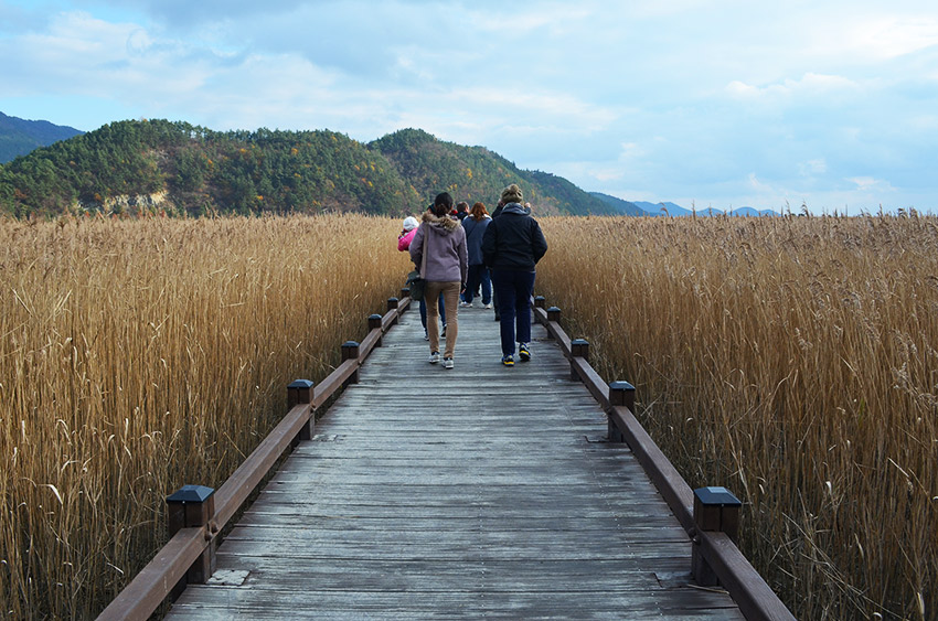 Boardwalk among reeds