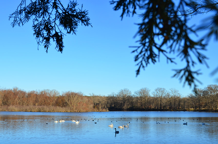 Trumpeter swans on Magness Lake