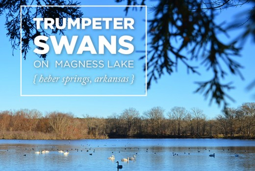 Trumpeter Swans on Magness Lake in Heber Springs, Arkansas